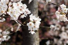 Körsbärsröda blomningar, skönhet, sol, blomma, naturligt som är trevlig, landskap, lopp Fotografering för Bildbyråer