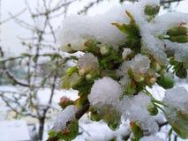 Körsbärsröda blomningar under den April snöfilten Royaltyfri Foto