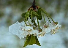 Körsbärsröda blomningar under snö Arkivbilder