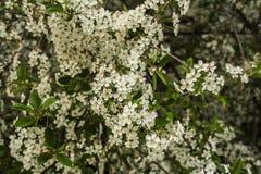 Körsbärsröda blomningar, vit blomma royaltyfri foto