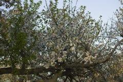 Körsbärsröda blomningar Vita blommor av fruktträdet royaltyfria bilder