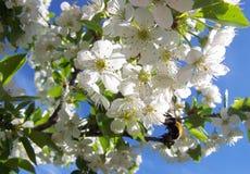 Körsbärsröda blosooms och ett bi Arkivfoton