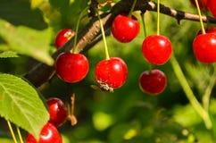 Körsbärsröda frukter Arkivbild