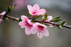 Körsbärsröda sakura blomstrar på en naturbakgrund i regnet Rosa blommor rosa fjäder för blommor Blommor från trädgården Arkivbilder