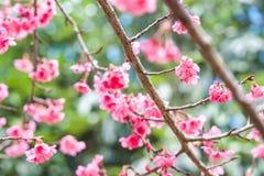 Körsbärsröda sakura rosa färgblommor Royaltyfria Foton