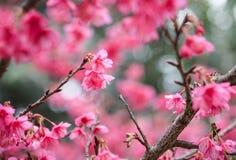 Körsbärsröda sakura rosa färgblommor Arkivfoto