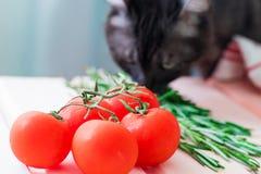 Körsbärsröda tomater förgrena sig med grönt rosmary på den träkulör tabellen och katt på bakgrund Royaltyfri Bild