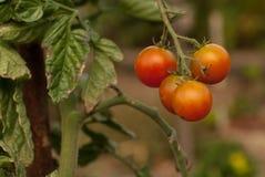 Körsbärsröda tomater i trädgården arkivbilder