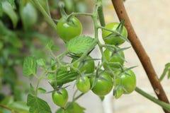 Körsbärsröda tomater som mognar i en fruktträdgård Arkivbild