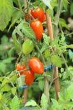 Körsbärsröda tomater som mognar i en fruktträdgård Royaltyfri Bild