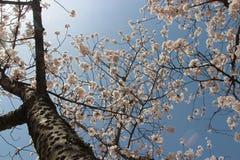 Körsbärsröda träd blomstrar i en offentlig trädgård i Amanohashidate (Japan) Royaltyfri Fotografi