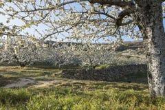Körsbärsröda träd för blomning. Fotografering för Bildbyråer