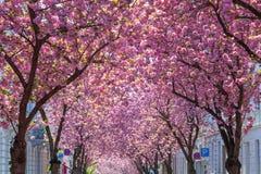Körsbärsröda träd i den gamla staden av Bonn, Tyskland Royaltyfri Bild