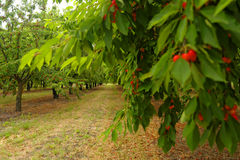 Körsbärsröda träd i Menerbes Royaltyfria Bilder