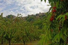 Körsbärsröda träd i Menerbes, Provence royaltyfria foton