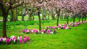 Körsbärsröda träd i rad Trädgårds- vårblomning Royaltyfri Fotografi