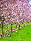 Körsbärsröda träd i rad Trädgårds- vårblomning Fotografering för Bildbyråer