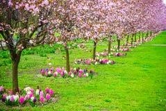 Körsbärsröda träd i rad Trädgårds- vårblomning Royaltyfria Bilder