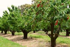 Körsbärsröda träd i trädgård royaltyfri bild