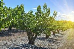 Körsbärsröda träd i trädgården i rad Arkivfoton