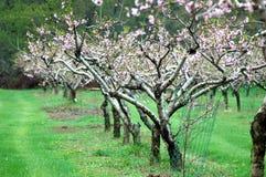 Körsbärsröda träd i vår Royaltyfri Fotografi