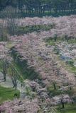 Körsbärsröda träd längs vallgravarna av fortet Goryokaku som sett från det Goryokaku tornet, Hakodate, Hokkaido, Japan i vår Arkivfoton