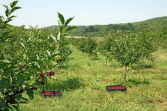 Körsbärsröda träd med körsbär i fruktträdgård Arkivfoton