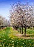 körsbärsröda träd och maskrosor Royaltyfri Fotografi