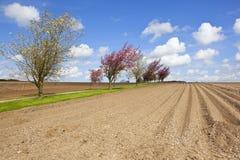Körsbärsröda träd och potatisfält Royaltyfri Fotografi