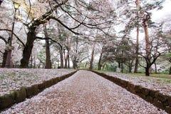 Körsbärsröda träd på Omiya parkerar, Saitama, Japan i vår Med kronblad för sakurafubuki och för körsbärsröd blomning på jordninge Arkivbild