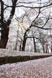 Körsbärsröda träd på Omiya parkerar, Saitama, Japan i vår Med kronblad för sakurafubuki och för körsbärsröd blomning på jordninge Royaltyfria Foton