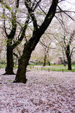 Körsbärsröda träd på Omiya parkerar, Saitama, Japan i vår Med kronblad för sakurafubuki och för körsbärsröd blomning på jordninge Royaltyfria Bilder