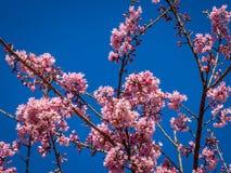Körsbärsröda Treeblommor royaltyfria foton