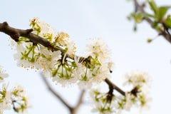 Körsbärsröda Treeblommor Royaltyfria Bilder