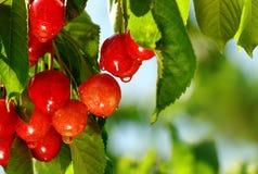 Körsbärsröda trees. Fotografering för Bildbyråer