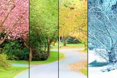 Körsbärsröda trees i blom Arkivfoton