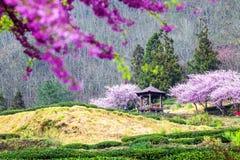 Körsbärsröda trees på en ny grön lawn arkivfoton