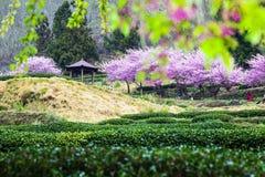 Körsbärsröda trees på en ny grön lawn arkivbilder