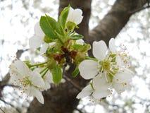 Körsbärsrött blomstra Arkivfoton