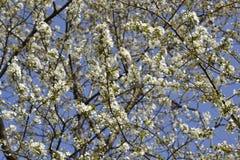 Körsbärsrött slut för blomma upp Arkivbild