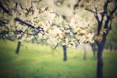 Körsbärsrött träd för blomning Arkivbild