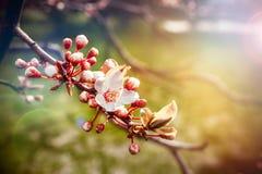 Körsbärsrött träd för blomning royaltyfri foto