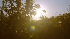 Körsbärsrött träd för blomning i trädgård i vårsolsken, frukt som blomstrar trädgården i vår lager videofilmer