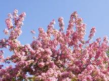Körsbärsrött träd för japanska rosa färger Arkivfoto
