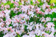 Körsbärsrött träd för rosa blommor i blomningträdgård Royaltyfri Fotografi