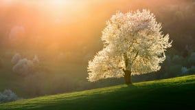 Körsbärsrött träd för slovakiskt vårlandskap royaltyfria bilder