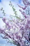 Körsbärsrött träd för vår i blom med rosa blommor Fotografering för Bildbyråer