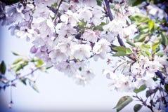 Körsbärsrött träd för vår i blom med rosa blommor Arkivbild
