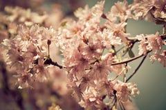Körsbärsrött träd för vår i blom med rosa blommor Arkivbilder