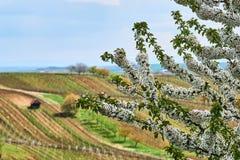 Körsbärsrött träd för vårblomning i vingård Södra Moravia Tjeckiska Repu royaltyfri foto